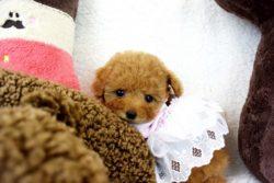 トイプードルアプリコット子犬