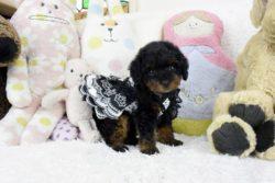 トイプードルブラックタン子犬