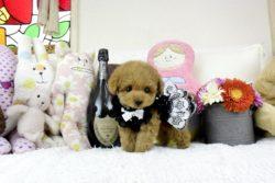 トイプードルレッドの子犬