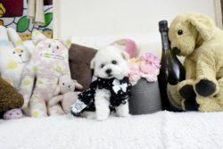 トイプードルホワイト子犬