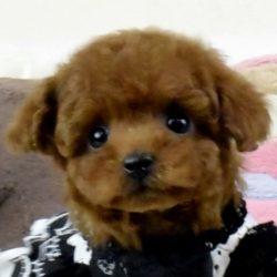 トイプードルディープレッドの子犬