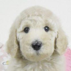 スタンダードプードル子犬