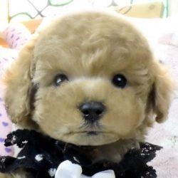 トイプードルシャンパンの子犬