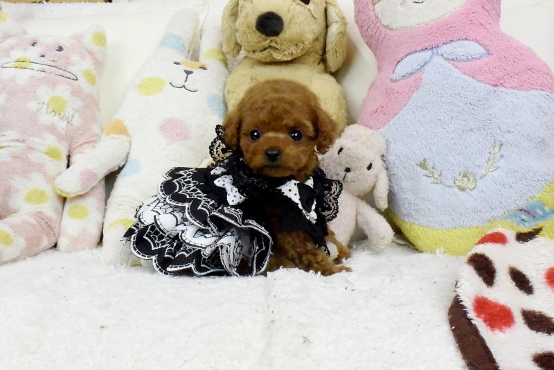 トイプードルの子犬質の良い子