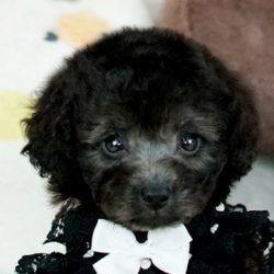 ティーカッププードルシルバー子犬