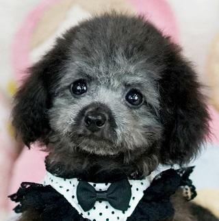 ティーカッププードルプラチナシルバーの子犬
