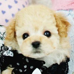 ティーカッププードルクリーム子犬