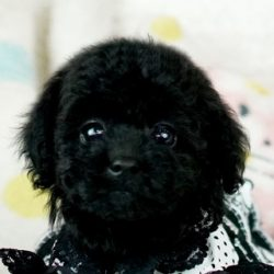 トイプードルブラック子犬