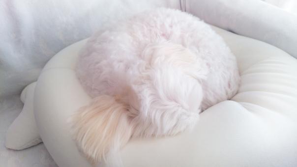 トイプードルはよく寝る