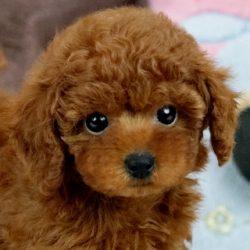 ティーカッププードル子犬