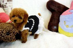 トイプードルレッド子犬