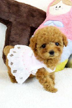 ティーカッププードルの子犬