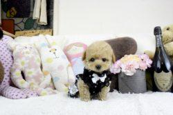 ティーカッププードルクリームの子犬