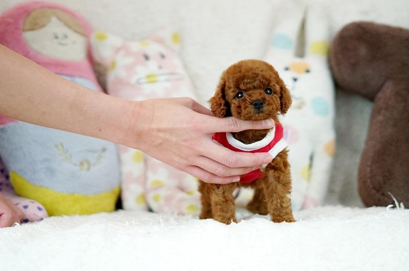 トイプードル子犬 サイズについて / トイプードル、ティーカップ