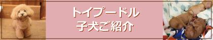 ティーカッププードル・トイプードル・子犬紹介