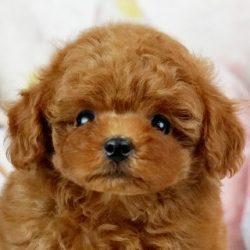 ティカッププードル レッド子犬