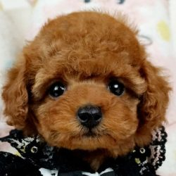 ティーカッププードル レッドの子犬
