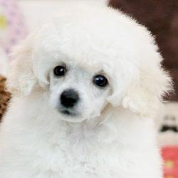 ミニチュアプードル 子犬