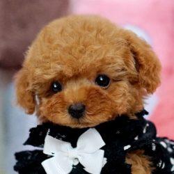 ティーカッププードル 子犬