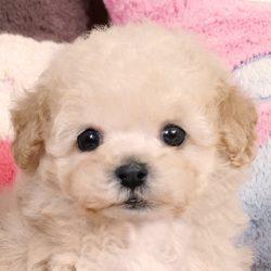 ティーカッププードル クリーム 子犬