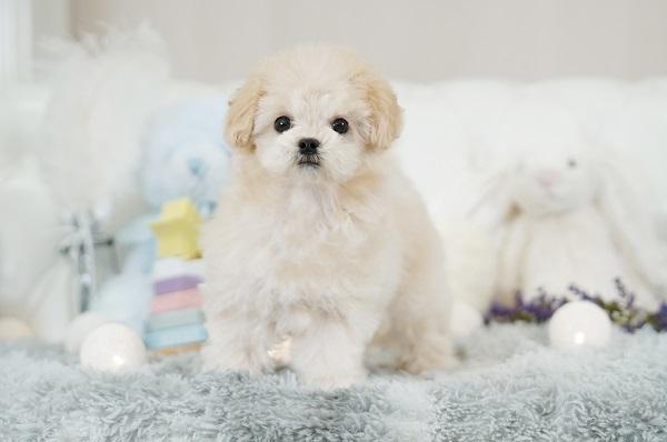 マルプー ミックス犬